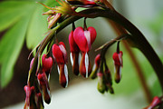 Bleeding Hearts Prints - Bleeding Heart 2012 Print by Marjorie Imbeau