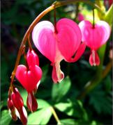 Temperament Framed Prints - Bleeding Heart Framed Print by Brittany H