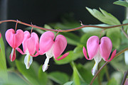 Flowering Bush Posters - Bleeding Heart Poster by Debra Martelli