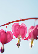 Bleeding Heart Photos - Bleeding Heart Flower by Karin A photography