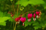 Bath Greeting Cards Framed Prints - Bleeding Heart Framed Print by John  Greaves