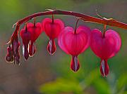 Bleeding Hearts Prints - Bleeding Heart Print by Juergen Roth