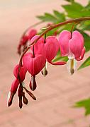 Bleeding Hearts In The Park Print by Steve Augustin