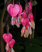 Bleeding Heart Photos - Bleeding Hearts by Paul Ward