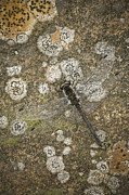 Lichen Prints - Blending In Print by Andy Astbury