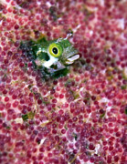 Peeking Posters - Blenny Fish Eggs Poster by Copyright Michael Gerber