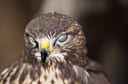 Buzzard Prints - Blind Buzzard Print by Michal Boubin