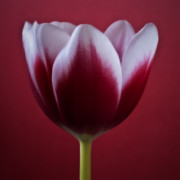 Dark Framed Prints Prints - Bliss - Red Square Tulip Macro Flower Photograph Print by Artecco Fine Art Photography - Photograph by Nadja Drieling