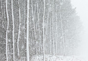 South Korea Prints - Blizzard Blankets Trees In Snow Print by Douglas MacDonald