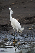 Snowy Egret Photos - Blond Beauty.. by Nina Stavlund