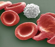 Hematology Prints - Blood Cells Print by Steve Gschmeissner