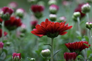Garden Flowers - Blood Mums by Lynn-Marie Gildersleeve