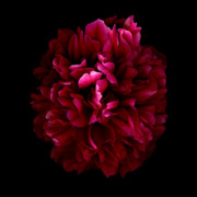 Scanography Posters - Blood Red Peony Poster by Deborah J Humphries