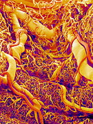 Blood System Prints - Blood Vessels On A Colon, Sem Print by Susumu Nishinaga