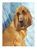 Blood Hound Framed Prints - Bloodhound 283 Framed Print by Larry Matthews