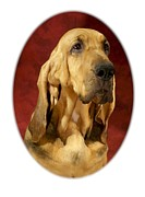 Blood Hound Framed Prints - Bloodhound 435 Framed Print by Larry Matthews