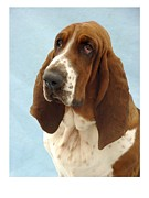 Blood Hound Framed Prints - Bloodhound 658 Framed Print by Larry Matthews