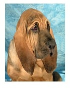 Blood Hound Framed Prints - Bloodhound 927 Framed Print by Larry Matthews