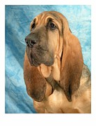 Blood Hound Framed Prints - Bloodhound 933 Framed Print by Larry Matthews