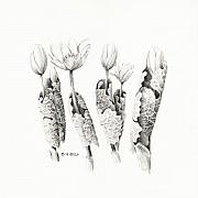 Maine Drawings Prints - Bloodroot Group Print by Betsy Gray