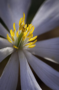 Brightly Lit Framed Prints - Bloodroot in Sunbeam Framed Print by Rob Travis