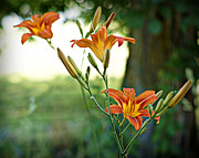 Tiger Lillies Photos - Bloom Where Youre Planted by Cricket Hackmann