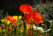 Botanica Photos - Bloomin Poppies by Fred Lassmann