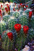 Denver Botanical Garden Prints - Blooming Cactus Print by Bruce Bley