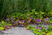 Beach Scenes Photo Originals - Blooming Cross Vines along the beach by Barbara Bowen