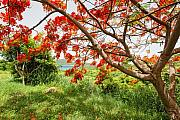 Culebra Photos - Blooming Flamboyan Tree by George Oze