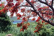 Culebra Photos - Blooming Flamboyan Tree Tamarindo Bay  Culebra Island  Puerto Rico by George Oze