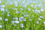Flora Photos - Blooming flax by Elena Elisseeva