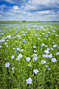 Lush Green Framed Prints - Blooming flax field Framed Print by Elena Elisseeva