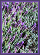 Purple And Green Posters - Blooming Lavender with Border Poster by Carol Groenen