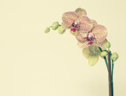 Yellow Background Posters - Blooming Phalaenopsis Orchid, With Yellow And Pink Petals, On A Yellow Background Poster by Mint Images - Paul Edmondson