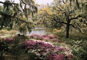 Azaleas Posters - Blooming Shrubs And Trees Poster by B. Anthony Stewart