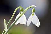 First Couple Prints - Blooming snowdrops Print by Elena Elisseeva
