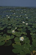 Aquatic Plants Prints - Blooming Water Lilies Fill A Body Print by Bates Littlehales