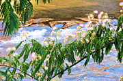 Mimosa Flowers Posters - Blooms Over The River Poster by Jan Amiss Photography