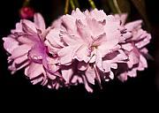 Blossom Print by Svetlana Sewell