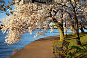 Cherry Trees Posters - Blossoming Cherry Trees Poster by Brian Jannsen