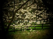 Cherry Blossoms Posters - Blossoms Fence Poster by Michael L Kimble
