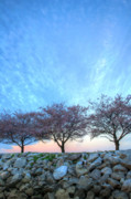 Cherry Blossoms Photo Prints - Blossoms Print by JC Findley