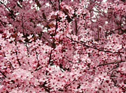 Tree Blossoms Prints - BLOSSOMS Pink Tree Blossoms Giclee Prints Baslee Troutman Print by Baslee Troutman Art Prints Collections
