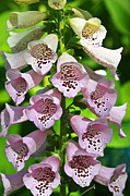 Foxglove Flowers Acrylic Prints - Blow The Trumpet Flora Acrylic Print by Andee Photography