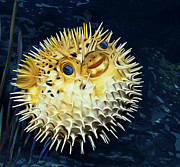 Puffer Fish Digital Art Framed Prints - Blowfish Framed Print by Thanh Thuy Nguyen