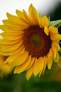 Sunflowers Art - Blown Away  by Neal  Eslinger