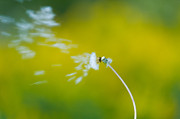 Dandelion Photos - Blown Away by Sebastian Musial