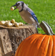 Bluejay Metal Prints - Blu Goes Nuts Metal Print by Shelley Neff