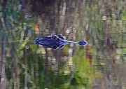 Alligators Photos - Blue Alligator by Juergen Roth